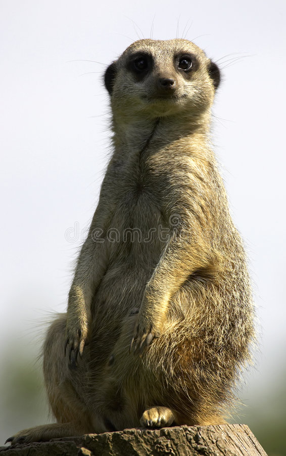Meerkat op plicht royalty-vrije stock foto