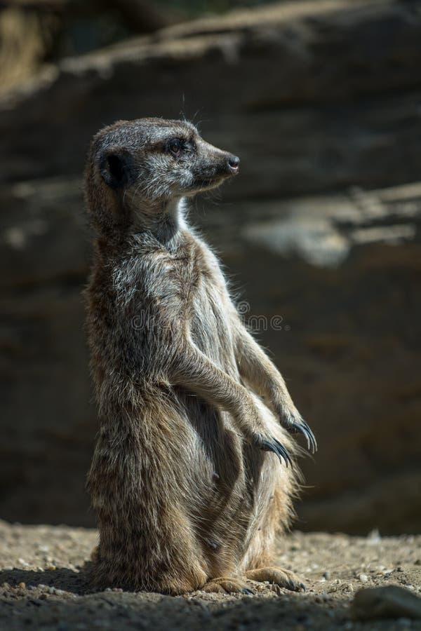 Meerkat op wacht stock foto's