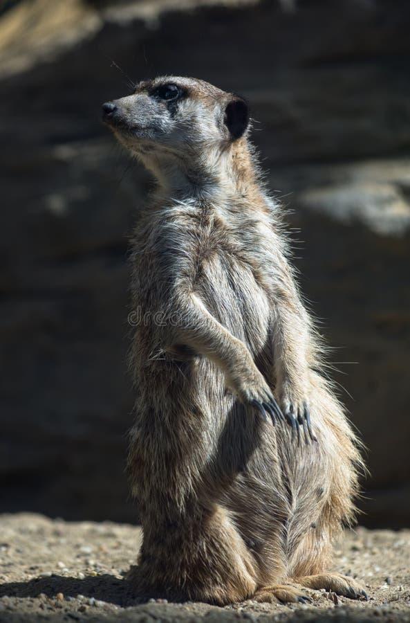 Meerkat op wacht royalty-vrije stock fotografie