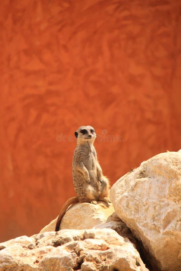 Free Meerkat Or Suricate Stock Photo - 43436160