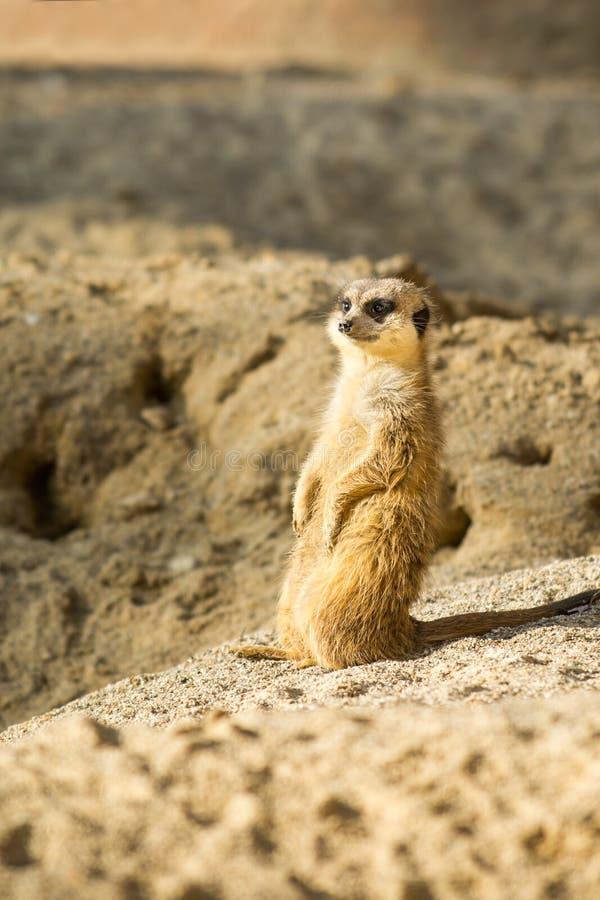 Meerkat ou Suricata images libres de droits