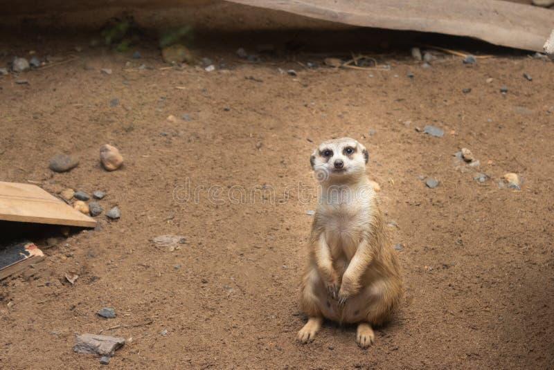 Meerkat på Guardarbetsuppgift arkivfoton