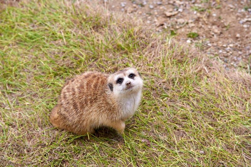 Meerkat pequeno que senta-se na grama que olha acima no céu imagem de stock royalty free