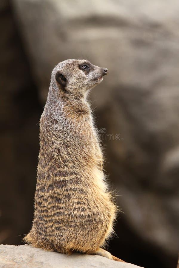 Download Meerkat Portrait stock photo. Image of mongoose, suricata - 13255124