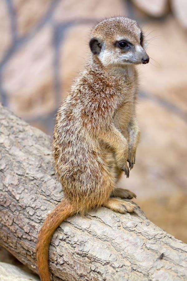 Meerkat Portrait Stockbilder