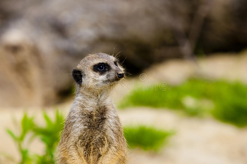 Meerkat Portrait stock image