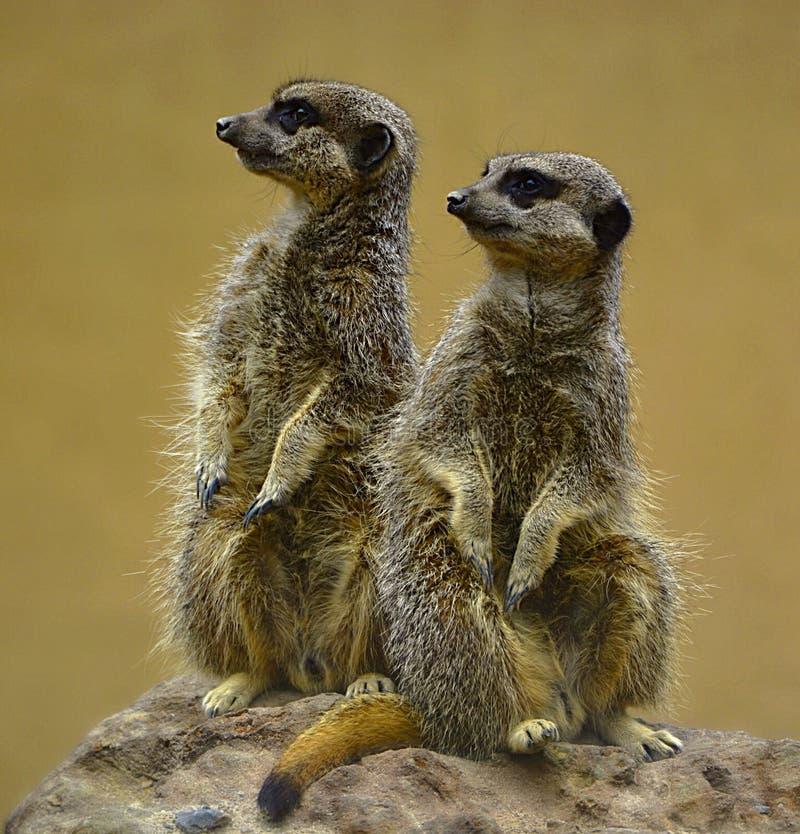 Meerkat posers. Two meerkats posing on a rock. Africa, african, amusing, animal, beautiful, beauty, brown, close, closeup, comical, couple, creature, curious stock images