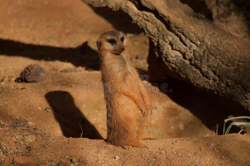 Meerkat pozyci strażnik Samotnie zdjęcia royalty free