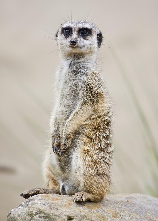 Meerkat pozyci upright