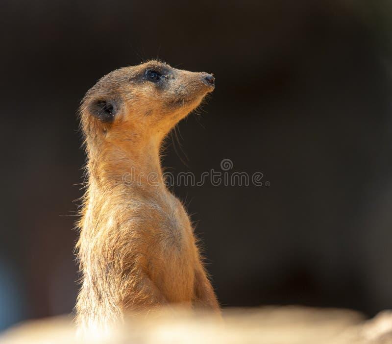 Meerkat in profile stock photography