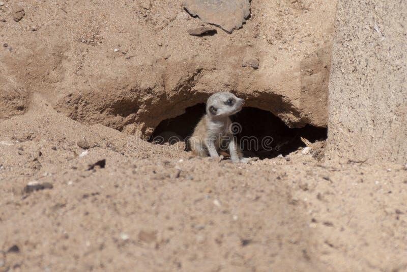 Meerkat puppy royalty free stock photo