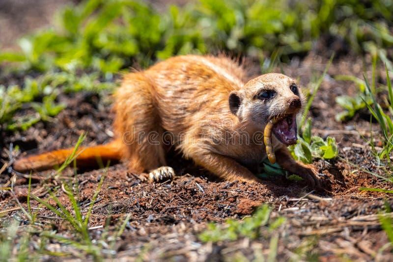 Meerkat que cava en el suelo para cazar los gusanos para comer en luz del sol foto de archivo libre de regalías