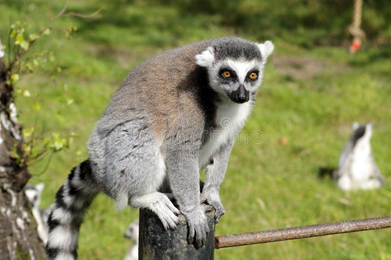 Meerkat que se sienta en la cerca imagen de archivo libre de regalías