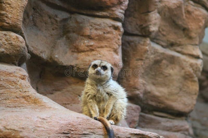Meerkat que se sienta en una repisa de la roca imágenes de archivo libres de regalías