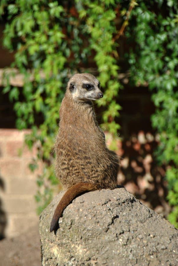 Meerkat que senta-se em uma rocha no sol foto de stock