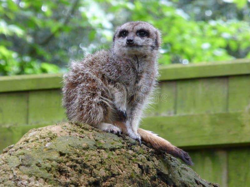 Meerkat que senta-se no sol fotografia de stock