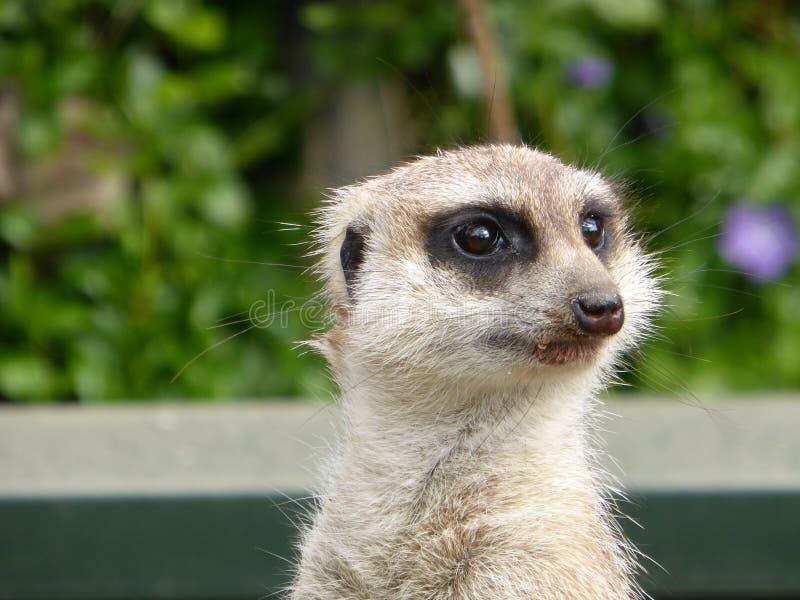 Meerkat que senta-se no sol fotos de stock royalty free