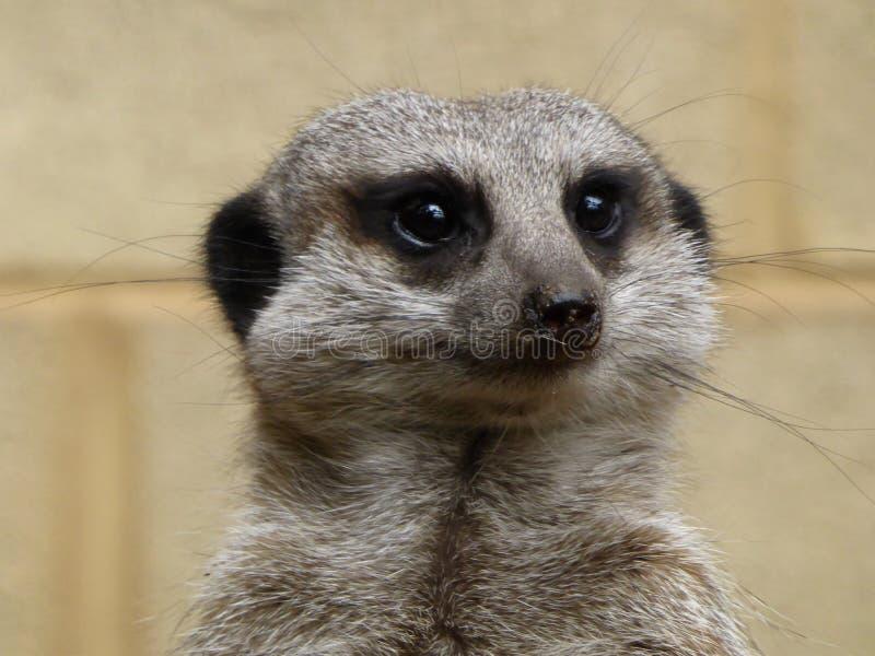 Meerkat que senta-se no sol imagem de stock
