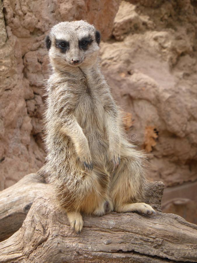 Meerkat que senta-se no sol imagens de stock