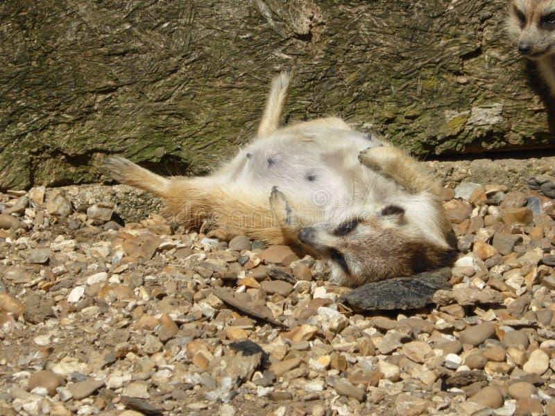 Meerkat que senta-se no sol foto de stock royalty free