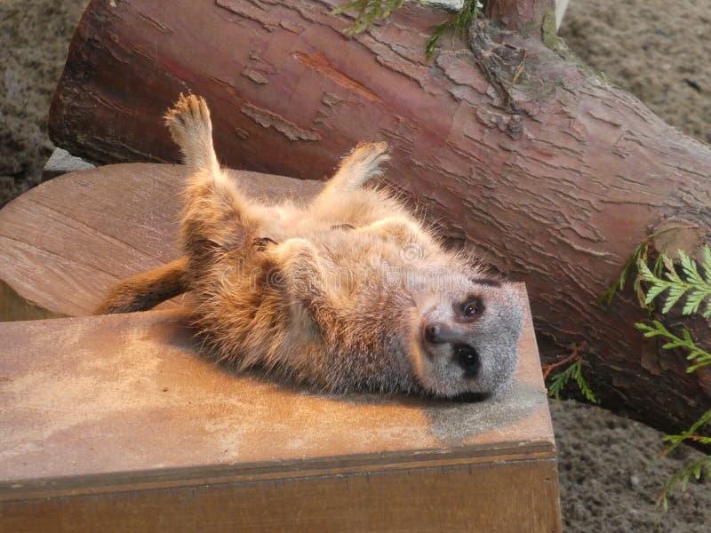 Meerkat que senta-se no sol imagens de stock royalty free