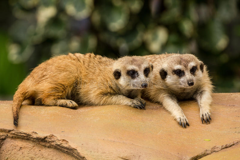 Meerkat resting on ground. Two meerkat resting on ground in zoo, Thailand royalty free stock photography