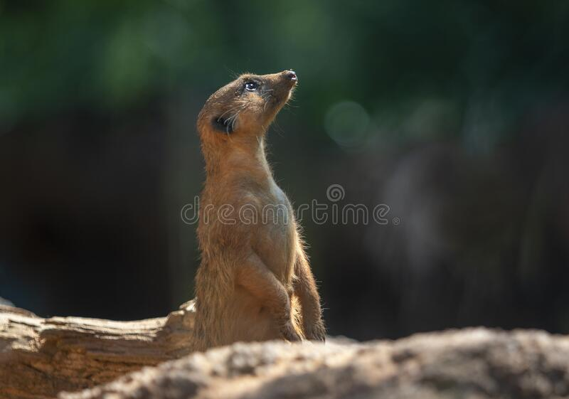 Meerkat on rocks royalty free stock images