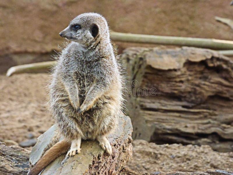 Meerkat sammanträde och se royaltyfria bilder