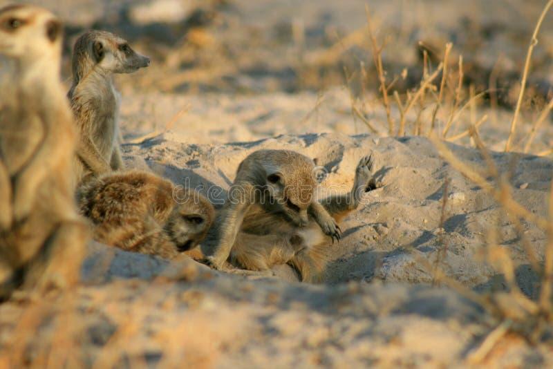 Meerkat se contrôle à l'extérieur photographie stock