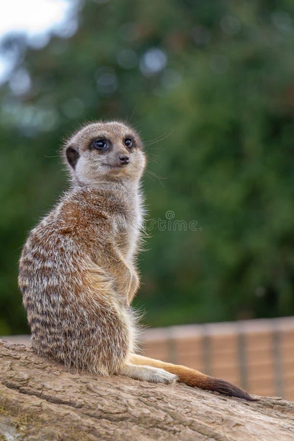 Meerkat se reposant sur une roche exerçant la surveillance photo stock