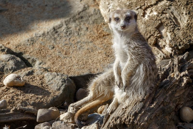Meerkat se repose parmi les pierres photo stock