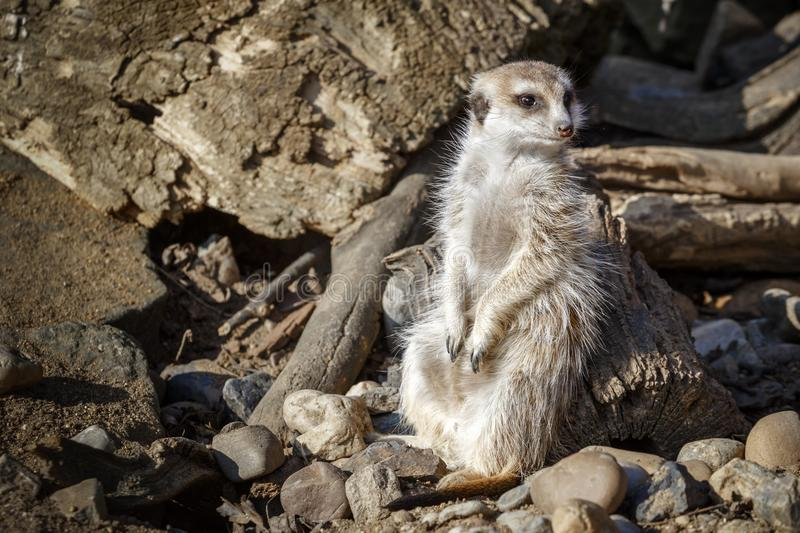 Meerkat se repose parmi les pierres photo libre de droits