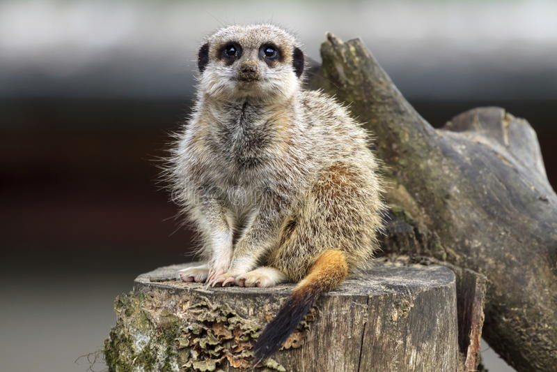 Meerkat se repose sur un rondin photographie stock libre de droits