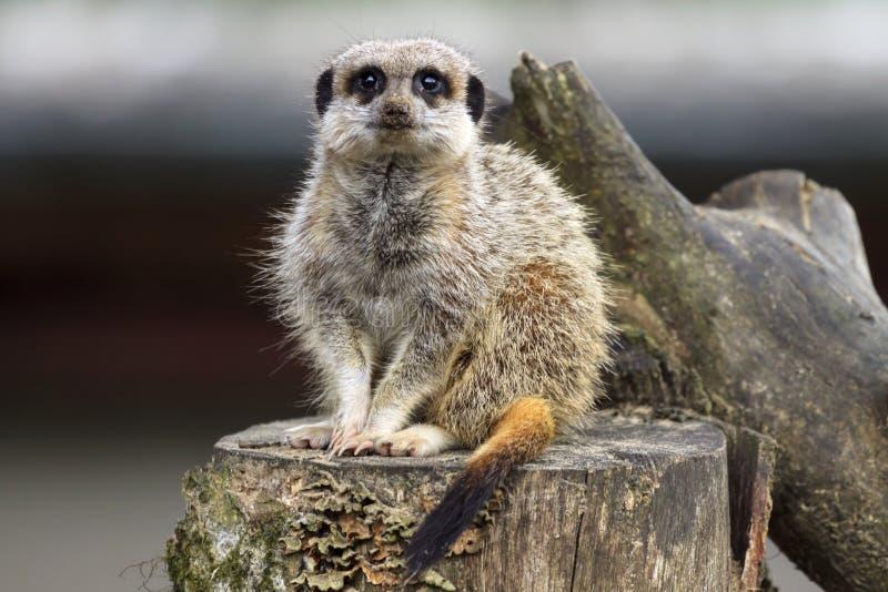 Meerkat se sienta en un registro fotografía de archivo libre de regalías