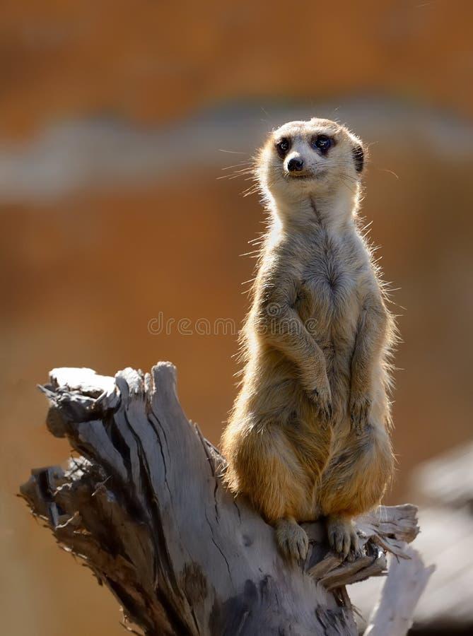 Meerkat se tenant sur le rondin avec le contre-jour image stock
