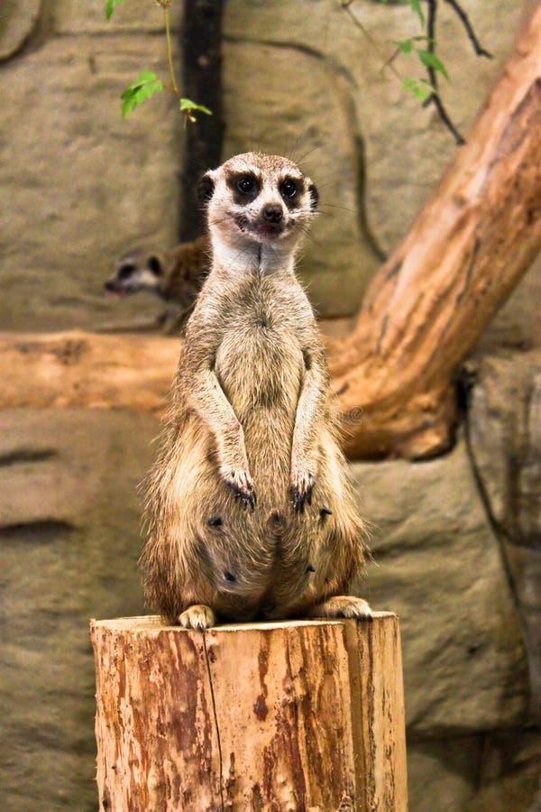 Meerkat siedzieć pionowy zdjęcia royalty free