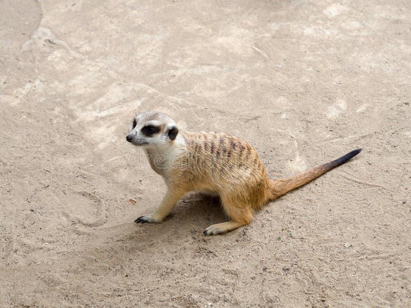 Meerkat siting stock photos