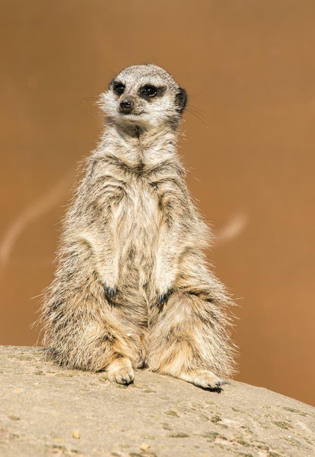 A meerkat siting up on rock. Yorkshire Wildlife Parks Meerkat royalty free stock photo