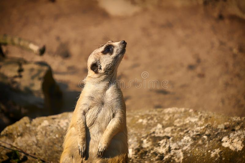Meerkat sits and looks around, funny meerkat, cute meerkat in front of its hole royalty free stock photo