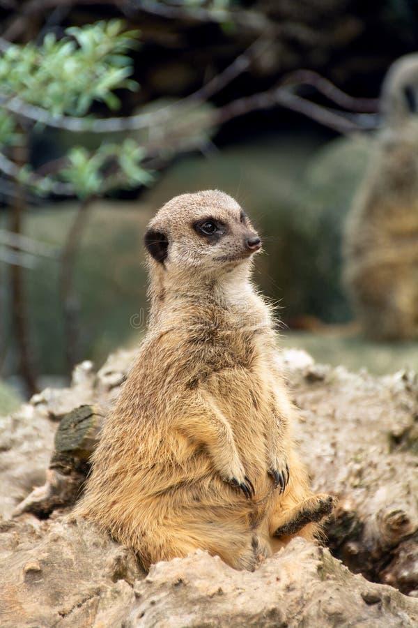 Meerkat sitter att se in i avståndet arkivfoto