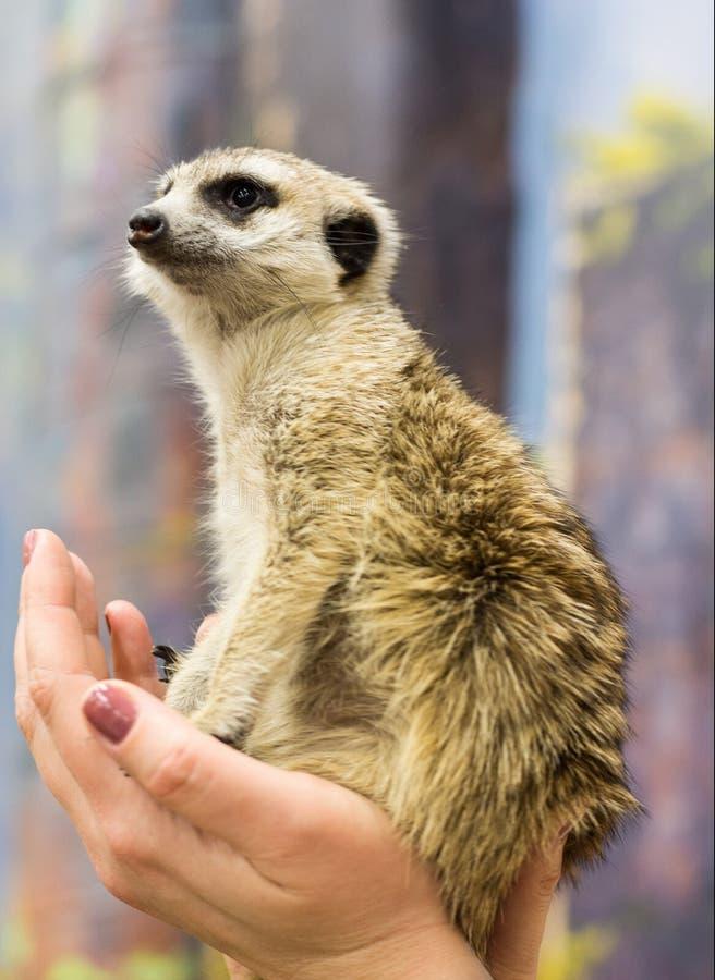 Meerkat sitter i kvinnliga händer och ser in i avståndet royaltyfria foton
