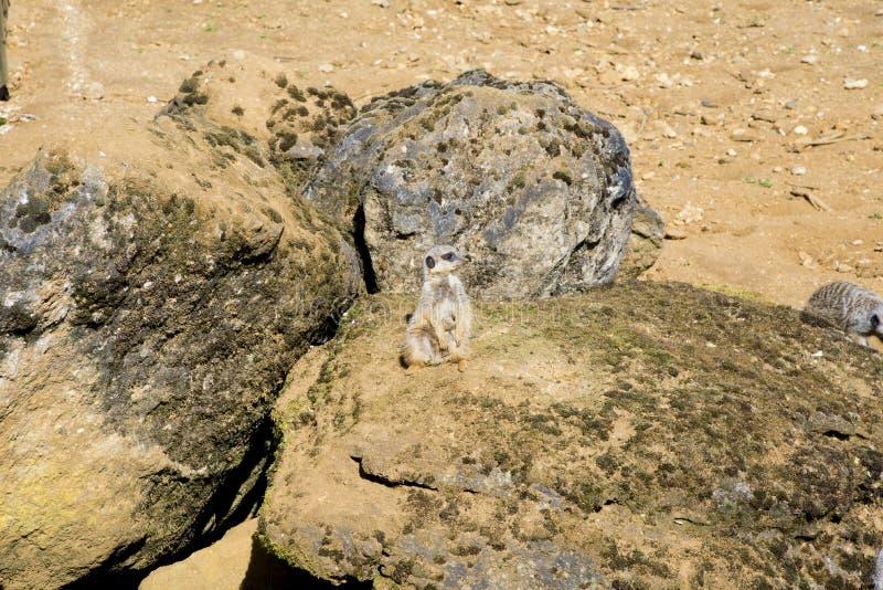 Meerkat sitter och ser omkring royaltyfria bilder