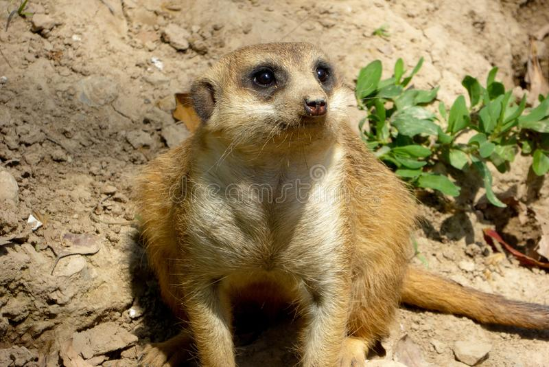 A Meerkat sitting on the land stock photography