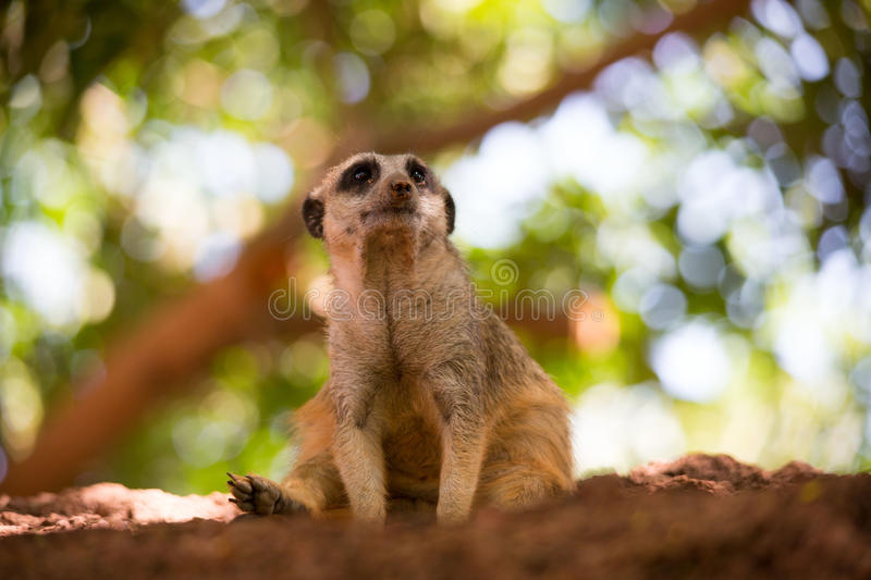 Meerkat is sitting on a little Mountain. Adelaide attentively watch upright animal australia brown close-up outdoors Meerkat Family rock predators face hair stock photo