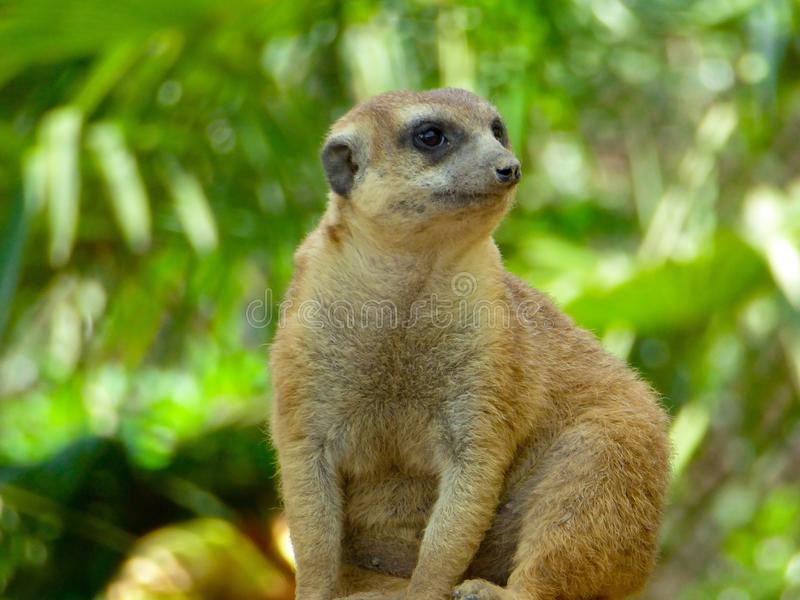 A Meerkat sitting on the mound to reconnaissance royalty free stock photo