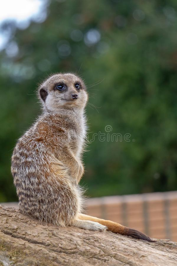 Meerkat sitting on a rock keeping watch. The meerkat or suricate Suricata suricatta is a small carnivoran belonging to the mongoose family Herpestidae. It is the stock photo