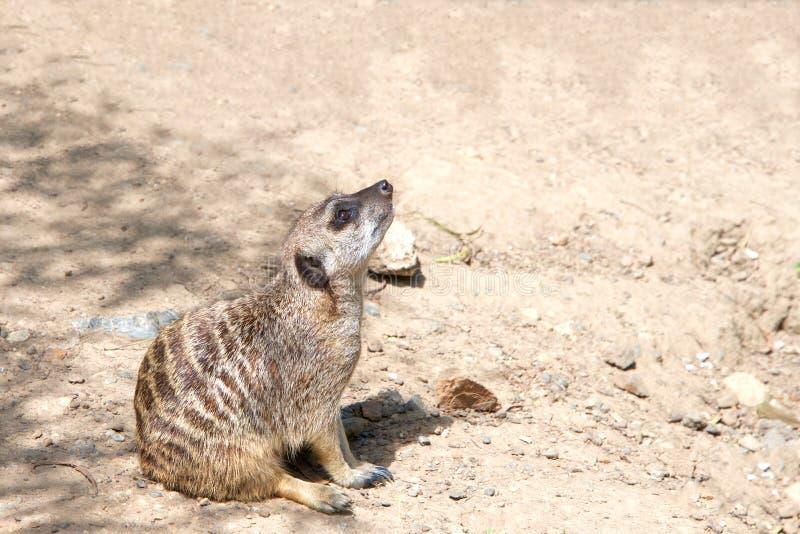 Meerkat-Sitzen, Profilansicht stockfotografie
