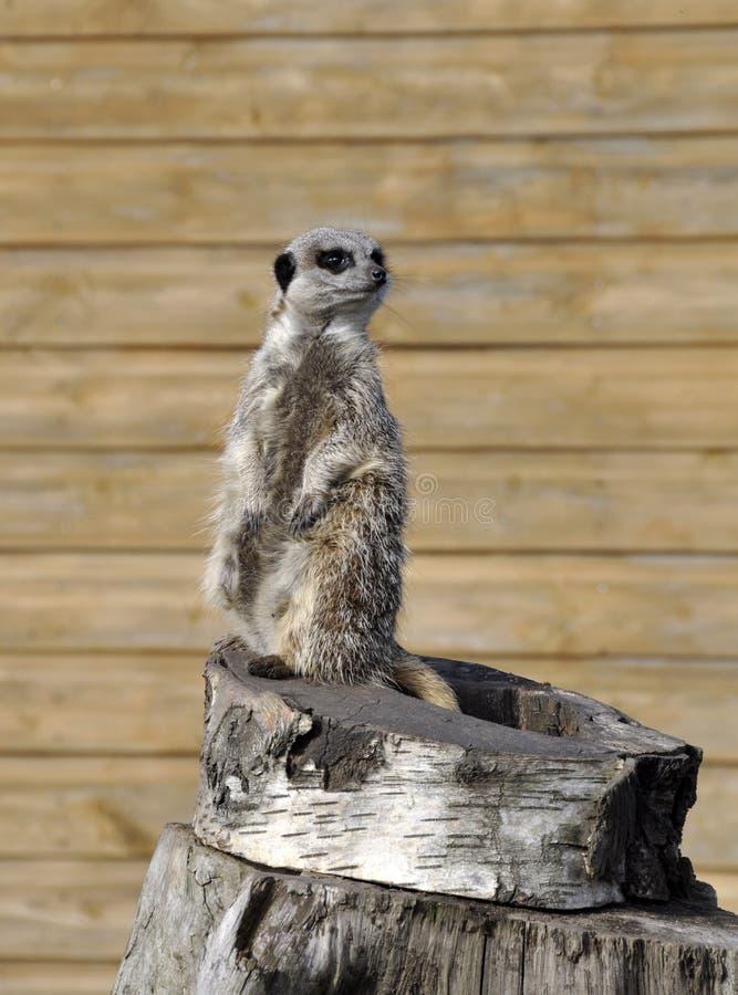 Meerkat solitaire images stock