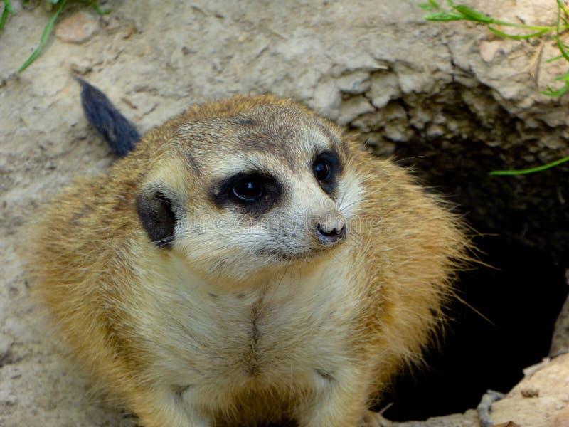 A Meerkat Squatting hole edge stock images