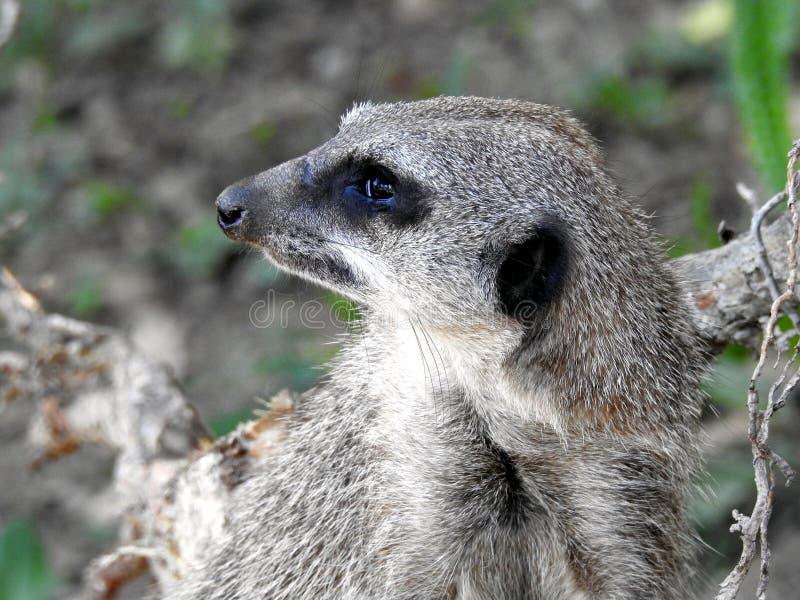 Meerkat St?ende av den Meerkat Suricatasuricattaen, afrikanskt inf?tt djur, liten k?tt?tare royaltyfria foton